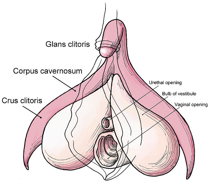 Clitoris structure